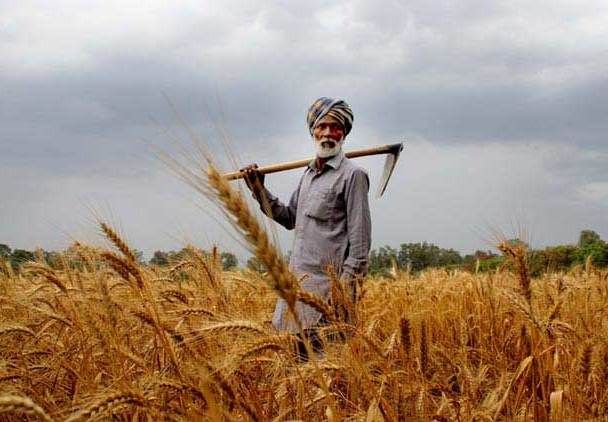 Punjab Farmer With Wheat Crop