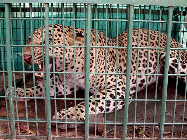 Leopard in Gurugram